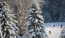 Snow covered pine trees with three skiers